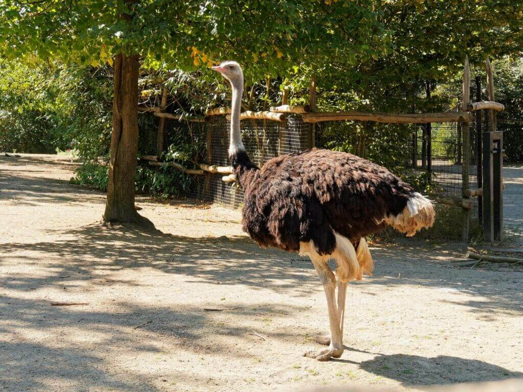 Ostrich at Rotterdam Zoo