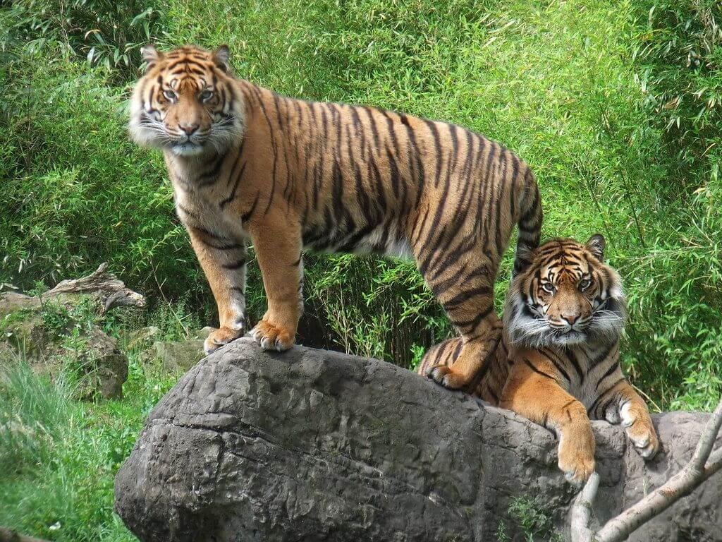 Sumatran Tigers at the Rotterdam Zoo
